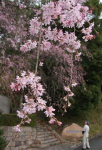 私市円山古墳公園の桜