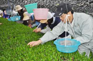 小西茶業組合が茶摘みを行った