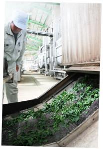 綾部緑茶生産組合の製茶工場で今年も緑茶の加工始まる