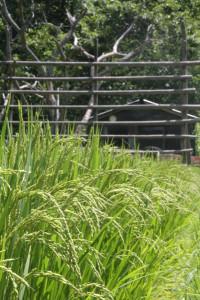五泉町市志地区の住民グループ「水源の里・市志」が稲刈りのボランティアを募集。稲刈り後稲木に稲を掛ける。