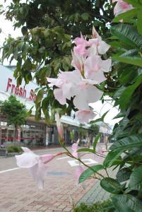 0823大輪の花マンデビラ