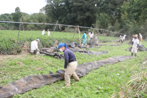 台風18号の被害を受けた農家の支援のため、JA関係者らがボランティアで小貝と位田町の茶園で倒壊した茶棚の撤去などを手伝った。