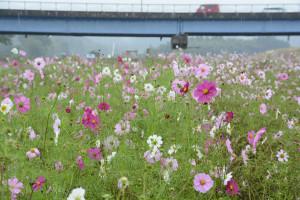 秋の恒例イベントコスモス祭が27日に開かれる。台風18号の水害でも流されず残ったコスモスが花を咲かせている。