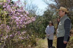 真言宗楞厳寺で大師山に植栽されているミツバツツジの花が見ごろになった。