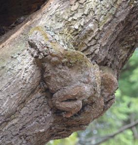和木町日吉神社の神木スダジイにカエルの形の瘤があり、話題を呼んでいる