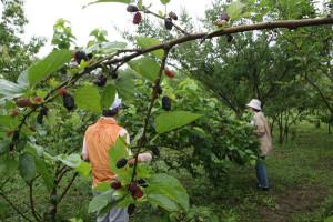 位田町のマルベリーファームで始まっているマルベリー摘みは梅雨入りにもかかわらず、昨年並みの来場者でにぎわっている。17日まで。