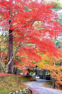 綾部もみじまつり」が開かれる本宮町の大本神苑のモミジは有名だが、大本の天王平(田野町)のモミジ=写真=も負けず劣らず素晴らしい。