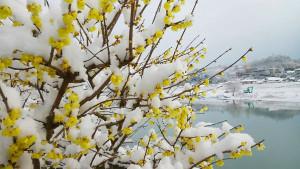 並松町で9㌢の積雪があった9日朝、枝に積もった雪に震えるかのような満開間近のロウバイ