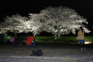 川糸町の第1市民グラウンド脇の由良川堤防で今週初めから、2本の桜が華やかにライトアップされている。この春、突然現れた夜桜の絶景のうわさは口コミでじわじわと広がり、日を追うごとに見物客が増えている。