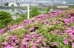 紫水ケ丘公園のツツジ