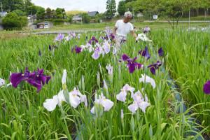 鍛治屋町の山下民雄さん(67)、寿美子さん(65)夫妻が同町内に新たに整備した「綾部花しょうぶ園」では、早生(わせ)品種の花が見頃。6月初旬には植栽している220種の花しょうぶが開花する見込みだ。
