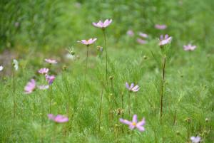 秋に花が咲くコスモス。ところが、口上林地区にある空き地では、自生するコスモスが次々と開花し=写真=、秋を待たず花畑のようになっている。