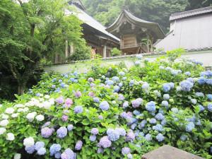 「綾部のアジサイ寺」として親しまれている上延町の真言宗東光院(松井真海住職)では、境内に植えられている約2500本のアジサイが満開期を迎え、青や薄紫色、ピンクなど鮮やかな花を咲かせている。