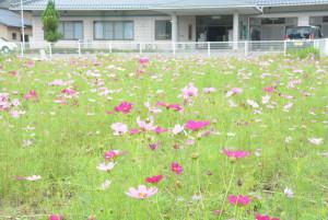 鷹栖町の国道27号沿いでコスモスの花が咲き並んでおり=写真=、通行中のドライバーが立ち寄って写真を撮るなど、季節外れの花は話題になっている。