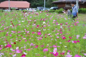 位田町の綾部ふれあい牧場では約5千平方㍍の花畑に白やピンク、紅色のコスモスが開花。シルバーウイーク期間中には多くの観光客が訪れており、秋の風情をカメラに収める人たちも少なくない。