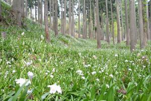 杉林一面が白の花畑―。福井県境にある老富町の市茅野集落近くの山林一帯が、今年も「胡蝶花(こちょうか)」の別名があるシャガの花で埋め尽くされ始めている。