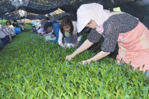 位田町の岡倉製茶場(中田義孝代表)の茶園で5日、市内で今季初の茶摘み作業が行われた。
