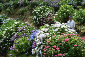 小畑町本城奥の大滝庄一さん(76)が自宅そばの山すそ(私有地)に植栽している250株以上のアジサイが見頃になっている。この場所は同町西端で福知山市報恩寺に通じる金谷峠の登り口付近。アジサイ見物に来た人のほとんどが、「こんな(山里の)奥にアジサイの名所があったとは」と感動するそうだ。