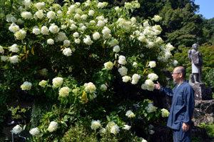 ノリウツギの花最盛