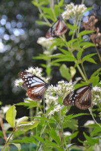 「海を渡る蝶(ちょう)」のアサギマダラが、睦寄町の鳥垣渓谷へ通じる道路わきに多数飛来している。
