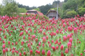 約5千平方㍍の広大な丘陵地に、春はストロベリーキャンドル、秋はコスモスの花が咲く「綾部ふれあい牧場」(位田町)。元々は荒地同然だった場所を4年前から、牧場内にある「ふれあい食堂」の店主、由良修一さん(54)が自費で整備して「お花畑」に変えた。毎年多くの来場者を迎え好評だが、年間40万円余りかかる経費が悩みの種。個人で負担し続けるには限界を感じ、インターネットを通じて広く寄付を呼びかけている。