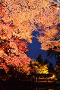 本宮町の大本神苑を会場に第9回「綾部もみじまつり」(同まつり実行委員会主催)が18日夕から20日までの3日間にわたり催される。同実行委の赤尾明俊委員長は「今年は色づきのタイミングが(開催日と)ドンピシャ。緑から赤への色づきのグラデーションもあり、昼夜を問わずきれいな紅葉をご覧いただけます」と、多くの来場を呼びかけている。
