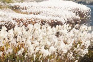 綾部の秋は美しい。川辺に繁茂するヨシ(アシ)は「邪魔者」扱いされることが多いが、小春日和に輝くこの時期の姿だけは何とも美しい。日本書紀に日本は「豊葦原(とよあしはら)の国」と呼ばれるほど昔から身近な存在。
