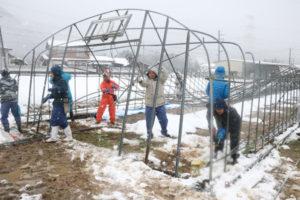 先月14日以降の大雪で多くの農業用ハウスが壊れたことを受け、JA京都にのくに(仲道俊博組合長)は今月13日から、組合員の壊れたパイプハウスを撤去するボランティア活動に乗り出した。24日までに延べ194人の職員が参加し、ボランティア受け入れ希望があった84棟程度の撤去を順次行う予定。