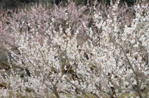 60本以上の梅がある和木町の松原梅林。同町では30年以上前から梅による地域おこしに取り組んでおり、町内全域で500本以上を栽培している。