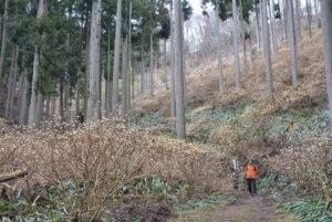老富町内の杉林の山の斜面一帯が黄色の花で埋め尽くされようとしている。この花は、樹皮が和紙の原料にもなるミツマタ。ミツマタの群生地があるのは、福井県境の市茅野(いちかや)集落。昭和20年代にミツマタの栽培が奨励され、植えられたものが群生化した。木の本数は数え切れない。