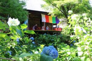 2500本のアジサイの見頃が近づく上延町の真言宗東光院(松井真海住職)に、新たな絶景スポットが生まれた