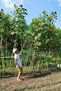 位田橋近くにある畑の一角に群生しているヒマワリが、3㍍以上の高さにまで成長している。ここで野菜などを栽培している山内利隆さん(90)=若松町=は、外出するのが難しくなった妻・と志子さん(86)のためにヒマワリを写真に納め、自宅にいながらにして夏の風景を楽しんでもらっている。