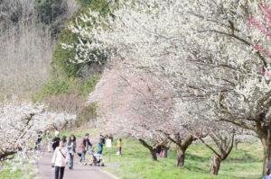 三寒四温が続いているが、ぽかぽか陽気となった18日、市梅林公園(舘町)の梅の花を楽しむイベントである第5回「うめ梅まつり」(市と豊里地区自治会連合会主催)が現地で行われ、市内外から多くの人が訪れた。