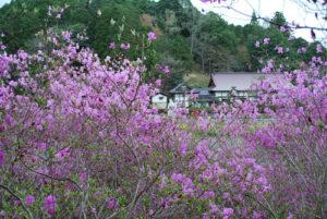 ミツバツツジ 早くも開花