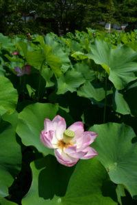 舘町にある真言宗楞厳寺(爲廣哲堂住職)で今年もハスの花が咲き始め、葉の合間からかれんなピンクや白の大輪が姿を見せている。