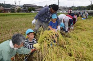 有岡町の吉美こども園(黒田進園長)の年長児38人が12日、園近くにある田んぼで稲刈りに挑戦