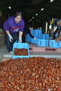 実りの秋だ。綾部の特産品の一つ「丹波栗」の出荷作業が今、最盛期。位田町のJA京都にのくに綾部位田育苗センターには、栗農家の人たちが手塩にかけて育てた栗がどっさり。茶色の一粒一粒が艶やかだ。
