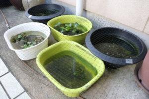 民家の玄関先や庭に鉢などを置いて飼われているメダカが何者かに盗まれる被害が、大島町内で相次いでいる。