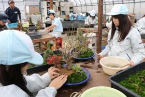 川糸町の綾部高校由良川キャンパス(東分校)で先週から、園芸科草花専攻の2、3年生14人が迎春用の寄せ植え製作実習に励んでいる。