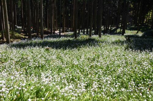 今年は花の開花が例年より1週間程度遅いという声を聞く。いつもならゴールデンウイーク期間中に見ごろを迎える花々が、今年は少し遅れてようやく盛りを迎えようとしている。