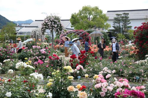 青野町のあやべグンゼスクエアがこの春、空前のにぎわいを見せている。5月の来場者数は、昨年の2倍に迫る6万7千人。観光客の一番のお目当ては、今年で9年目を迎えた綾部バラ園だ。特に今年はメディア露出や広告宣伝、口コミで個人客がじわじわと増えてきたことに加え、バスツアーの行程で立ち寄る大型バスが急増したことが、来場者数を一気に押し上げている要因となっている。