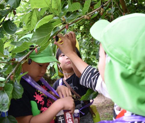 NPO法人・あやべベンチャーものづくりの会(若山行正会長)が位田町の八田川と由良川の合流地点付近で運営する「あやべマルベリーファーム」には、今年も市内外から多くの観光客が訪れている。11日には水源の里・橋上の里(橋上町)の住民や吉美こども園(有岡町)の5歳児らが来園し、桑の実摘みを楽しんだ。