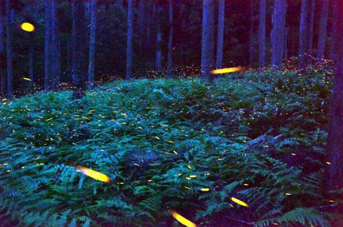まさに「奇跡の森」だ。広大な山すそに3月にミツマタ、5月にはシャガの花の大群生が見られる老富町市茅野集落の森で、今度はヒメボタルの大発生が確認された。出現は7月初旬から1週間程度のため今年のシーズンは既に終わったが、期間中は噂を聞き付けた人たちが暗い森に押し寄せ、幻想的な光景に見入った。