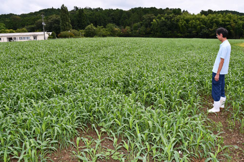 府農林水産技術センター畜産センター(位田町)で今年、栽培している乳牛の飼料用トウモロコシが生育不良を起こしている。梅雨明け以降の水不足と高温の日が多かったことに加え、雑草のイチビが繁茂したことが影響した。収穫量は大幅に減ったが、こうした事態に備えて牧草を栽培しておくなど事前の対策が奏功し、餌が不足することは避けられそうだ。