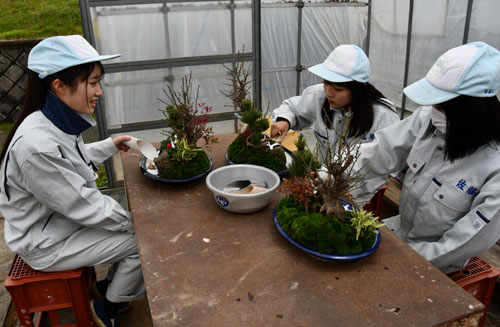 川糸町の綾部高校由良川キャンパス(東分校)で25日から28日までの4日間、迎春用の寄せ植え実習が行われた。師走前の恒例となっている実習で、園芸科草花専攻の2、3年生13人が18鉢を丹精込めて製作した。