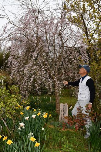 向田町の松下二三夫さん(78)宅の庭先で「三春(みはる)滝桜」が満開を迎えている。小さな淡いピンクの花が流れ落ちる滝のように咲いており、周囲を彩る花桃やスイセンなどとともに美しい風景を作り出している。