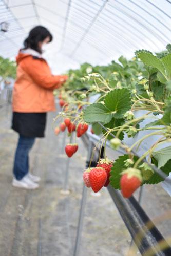イチゴ狩りを楽しんで下さい―。栗町の府道綾部大江宮津線沿いで営業する農業用品店「さんとよ綾部店」(大槻千鶴店長)では、店舗横に設置しているビニールハウスで昨年から2種類のイチゴを栽培しており、イチゴ狩りもできる。イチゴの収穫期は11月から5月上旬までのため、シーズン最終盤となるゴールデンウイーク期間中にもイチゴ狩りが楽しめそうだ。
