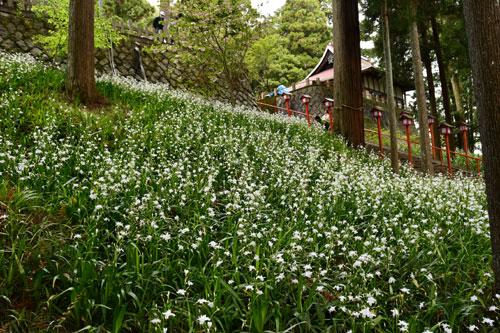 上野町にある若宮神社(四方義規宮司)に今、シャガの花が咲き誇っている。同神社にシャガが群生していることを知る人はまだ少なく、境内では白く可憐(かれん)な花が春から初夏への移り変わりを静かに伝えている。