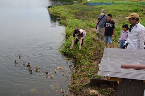 農業用ため池に繁茂した水草の駆除にアイガモを試すという取り組みが、七百石町で始まった。地元の人たちは「効果があったらよいけど、どうなるかはさっぱり分からん」としつつも、直径100㍍ほどの白田池に放たれた12羽のアイガモの〝活躍〟に、みんなで期待を寄せている。