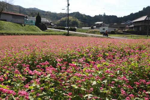 可憐(かれん)な赤い花が特徴的な「高嶺ルビー」という品種の赤ソバが、下原町の2カ所の休耕田で見ごろを迎えている。